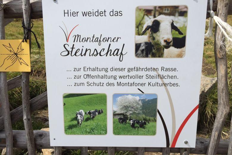 Montafoner Steinschaf, Erhaltung, Biodiversität, Nachhaltigkeit, Montafon